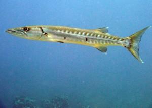 Barracuda Tauchen Schnorcheln